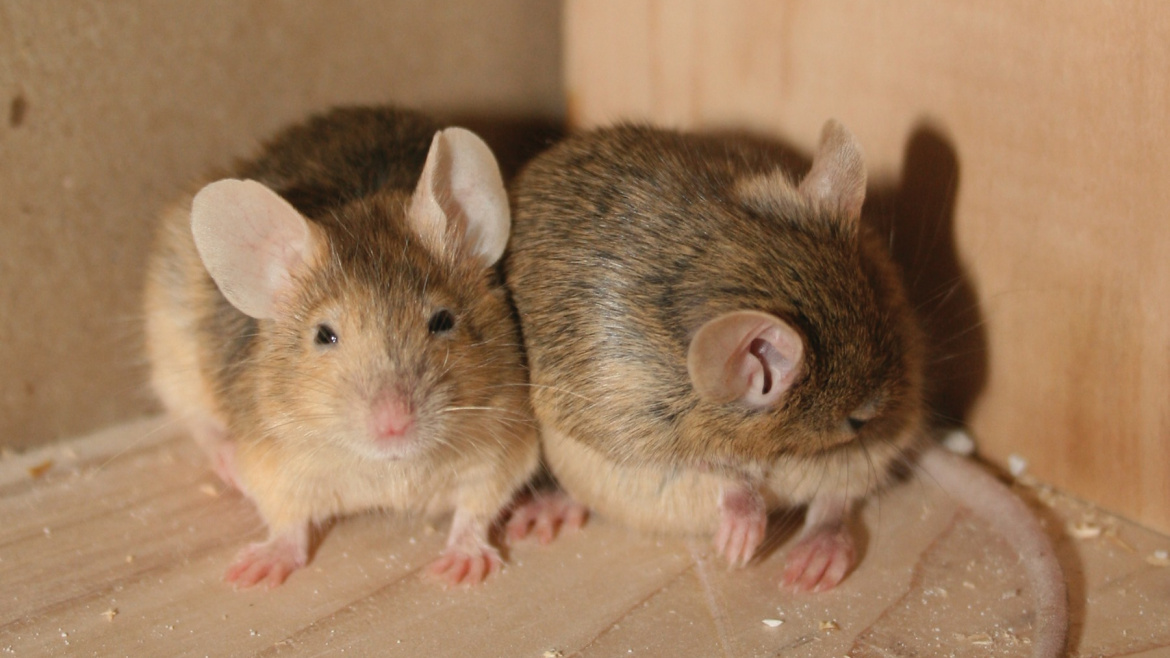 How to Get Mice Out of Your Garage?