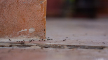 Dangerous Ant Species