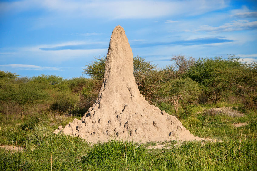 The Remarkable Mound Building Termites Of Southern Africa