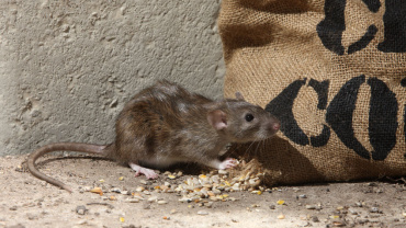 California Rodent Tales: Norway and Roof Rats