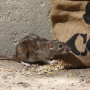 Can You Use Sound To Drive Away Rats?