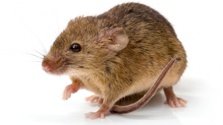 Mice & Hantavirus in California