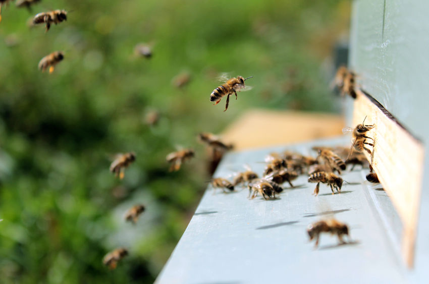 "The ""Beelectoral"" Vote: How Bees Find a New Home"