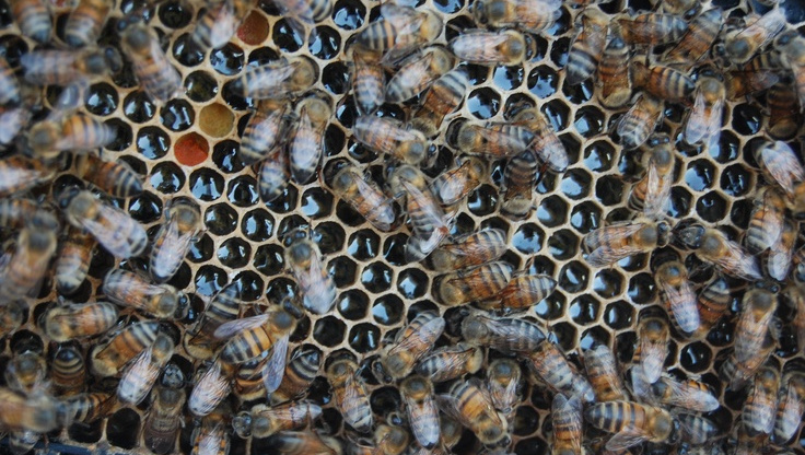 Know Your Honey Bees: Friend or Foe?
