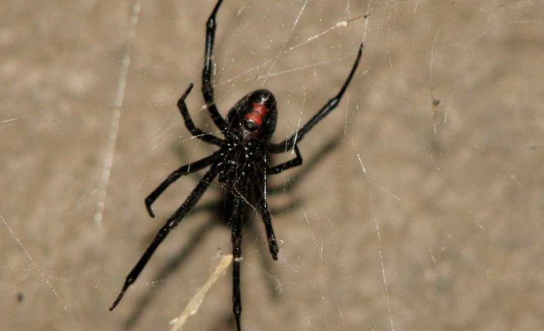 The Lifecycle Of A Black Widow Spider