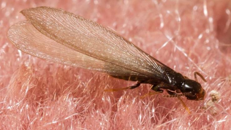 Flying Termites FAQ'S