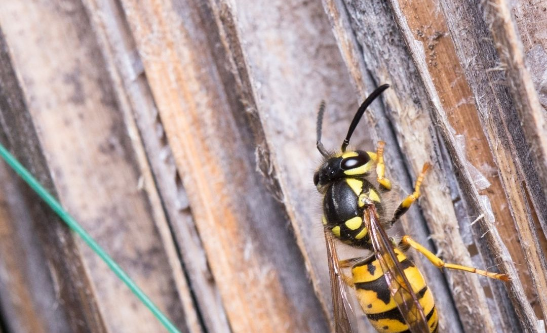 Get Rid of Wasps Using Natural Remedies | San Diego Wasp Control Experts