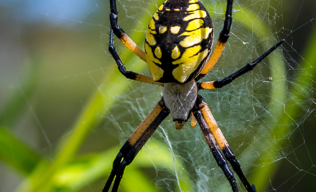 Spider Anatomy | Spider Control Experts